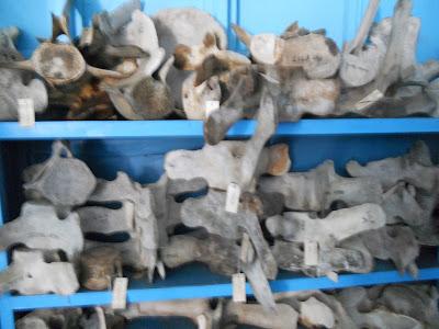 shelves of vertebral bones of whales